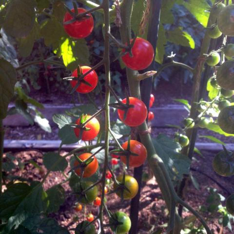 day 284: tomato paradise